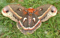 Rare daytime siting of a cecropia moth at the cottage on Sandy Pond NY